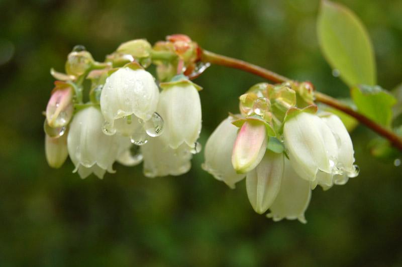 Myrtilles fleurs